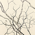 Black Crested Titmouse by Paul Illian