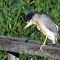 Black Crown Night Heron Scratching by Mercedes Martishius