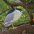 Black-crowned Night Heron 2 by HH Photography of Florida