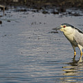 Black-crowned Night Heron 2017-3 by Thomas Young