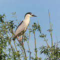 Black-crowned Night Heron 2017-5 by Thomas Young