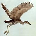 Black Crowned Night Heron 3junenile Roger Bansemer by Eloisa Mannion