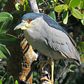Black Crowned Night Heron by Alan Lenk
