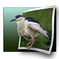 Black Crowned Night Heron by Brian Wallace
