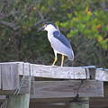 Black Crowned Night Heron by John R Young Jr