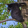 Black Cub Up A Tree by Ronald Lutz