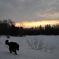 Black Dog Exploring Snow At Dawn by Kent Lorentzen