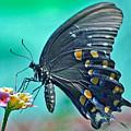 Black Eastern Swallow Tail by Jorge Gaete