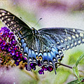 Black Eastern Swallowtail by Geraldine Scull