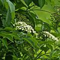 Black Elderberry - Sambucus Nigra_0261black Elderberry - Sambucus Nigra by Mother Nature