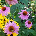 Black Eye Susans And Echinacea by Eric  Schiabor