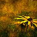 Black-eyed Susan And Granite by  Onyonet  Photo Studios
