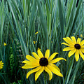 Black Eyed Susan And Tall Grass by Tony Ramos