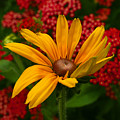 Black-eyed Susan And Yarrow by Steve Augustin