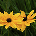 Black-eyed Susan Blossoms by David Lunde