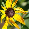 Black Eyed Susan by Christiane Schulze Art And Photography