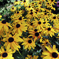 Black Eyed Susan by Cindy Murphy - NightVisions