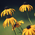 Black Eyed Susan by Dan Radi