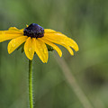 Black Eyed Susan by David Stone