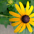 Black Eyed Susan by Denise Jenks