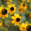 Black Eyed Susan Floral by Kathleen Sartoris