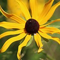 Black Eyed Susan In The Sun  by Colleen Snow