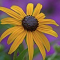 Black Eyed Susan On Purple by Patricia Strand