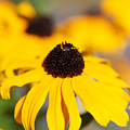 Black Eyed Susan One by Brooke Roby