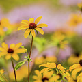 Black Eyed Susan Sunflowers In Field by Carol Mellema