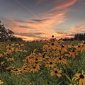 Black Eyed Susan Sunset by Paul Schultz