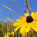 Black-eyed Susan With Grass by Thomas R Fletcher