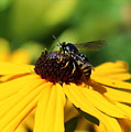 Black Eyed Susan With Wasp by Anita Hiltz
