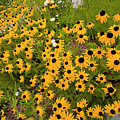 Black Eyed Susans-1 by Diane Macdonald