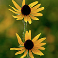 Black Eyed Susans 3276 H_2 by Steven Ward