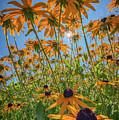 Black-eyed-susans Bask In The Sun by Rick Berk