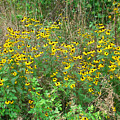 Black Eyed Susans by George Jones