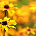 Black Eyed Susans by Jim Dohms