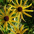 Black Eyed Susans by Peggy King
