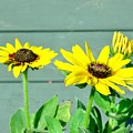 Black Eyed Susans Trio by Scenic Sights By Tara