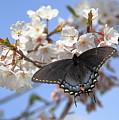 Black Female Swallowtail Butterfly by Allen Nice-Webb