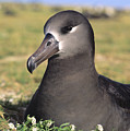 Black Footed Albatross by Reggie David - Printscapes
