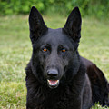 Black German Shepherd Dog II by Sandy Keeton