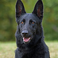 Black German Shepherd Dog by Sandy Keeton