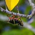 Black Grasshopper by Nancy L Marshall