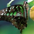 Black Green Tailed Jay 2 by Kristina Jones