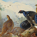Black Grouse And Gamebirds By Thorburn by Archibald Thorburn