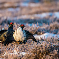 Black Grouses by Torbjorn Swenelius