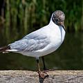 Black-headed Gull - Larus Ridibundus by Susie Peek