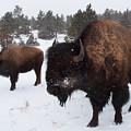 Black Hills Bison by JK Dooley