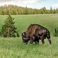 Black Hills Bull Bison by Robert Frederick